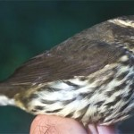 Figure 1. The Northern Waterthrush, Parkesia noveboracensis (above), breeds in the northern tier of states and throughout Canada. We see it at Hilton Pond Center only during migration. (Photo copyright Bill Hilton Jr.)