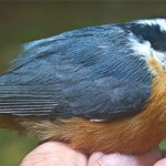 "Figure 1. Red-breasted Nuthatches, Sitta canadensis, are quite rare at Hilton Pond Center, so even one constitutes an ""irruption."" (Photo copyright Bill Hilton Jr.)"