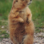 Kissing_Prairie_dog_2
