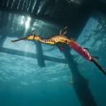 Best science photograph: Amateur photographer and marine biologist Richard Wylie's photo of a weedy seadragon. Photo: Richard Wylie.
