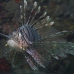 This is an image of a Lionfish shared on Diveboard by diver Jamie-Lee Thorpe. Credit: Jamie-Lee Thorpe