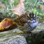 Figure 1. White-throated Sparrows, Zonotrichia albicollis (see photo), breed primarily in Canada, but many individuals migrate to the southern U.S. to spend the winter. (Photo copyright Bill Hilton Jr.)