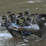 Figure 1. A hen Wood Duck, Aix sponsa (see photo), kept one eye on the photographer and the other on her 13 just-fledged ducklings paddling about on Hilton Pond. (Photo copyright Bill Hilton Jr.)